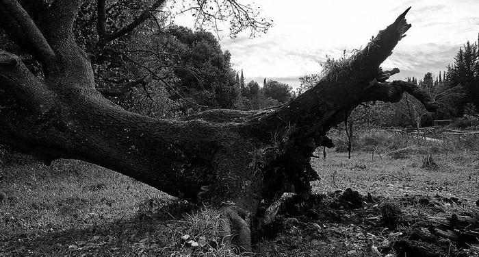 Giovanni Pascoli - La quercia caduta