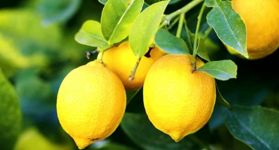 Pablo Neruda - Ode al limone
