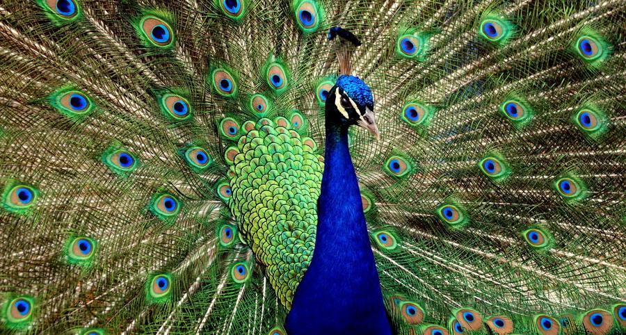 Bertrand Russell - La coda del pavone